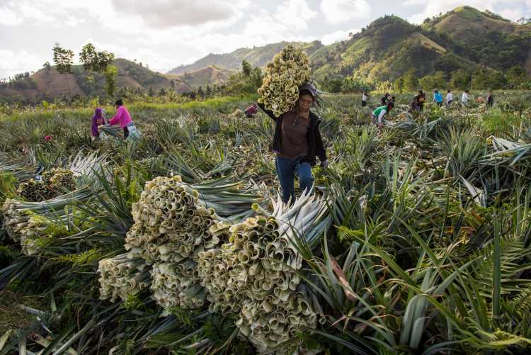 Ananas Anam plantation
