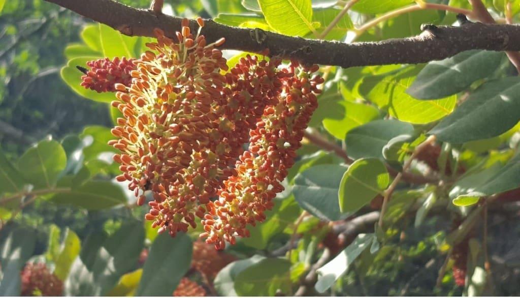 Carob male flowering