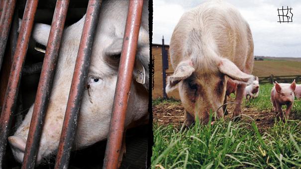 farmed pigs