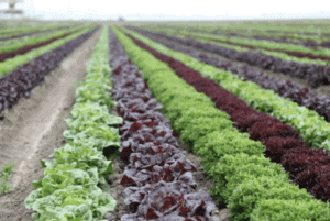 Full Harvest Lettuce Field