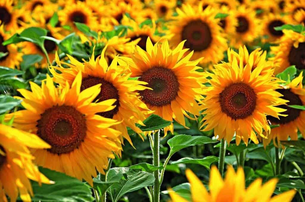 Hydrosol sunflowers