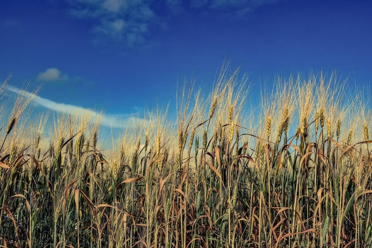Feld voller Getreideähren