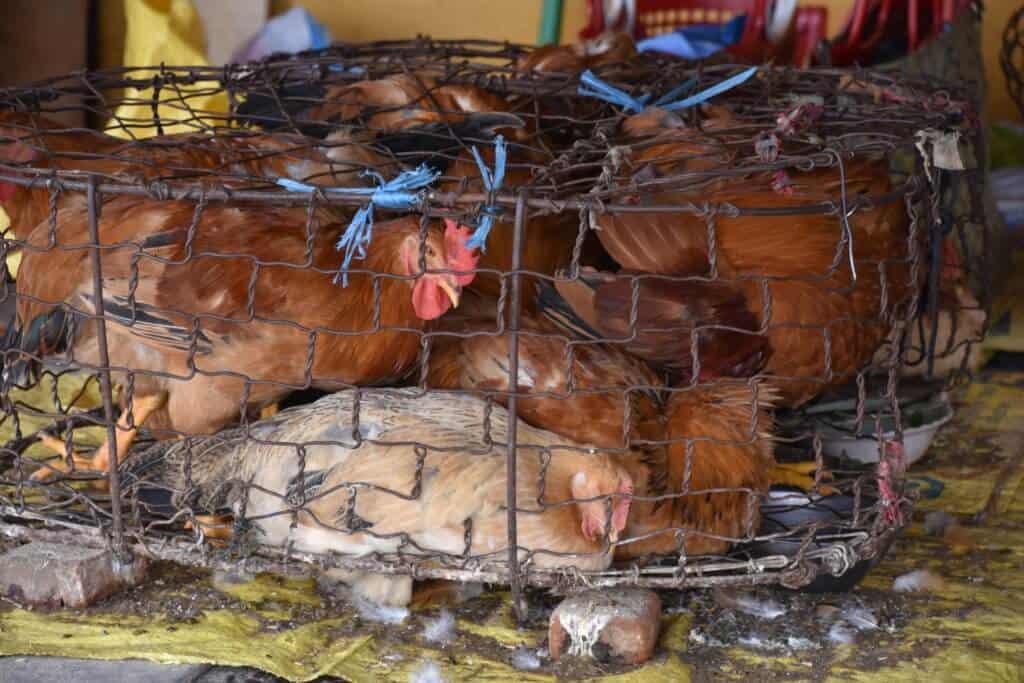 Live animal, wet market, chickens, coronavirus, COVID-19