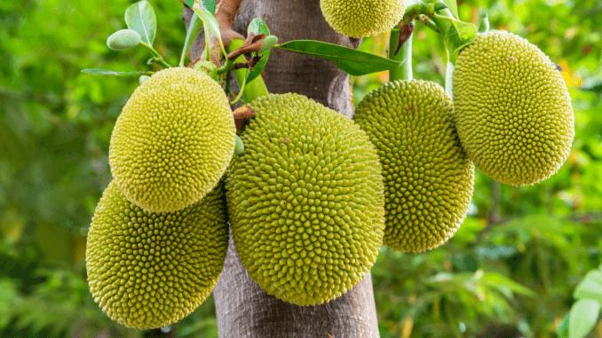 Jackfrucht am Baum – Die Basis des neuen veganen Jackfruit-Wraps von Sainsbury