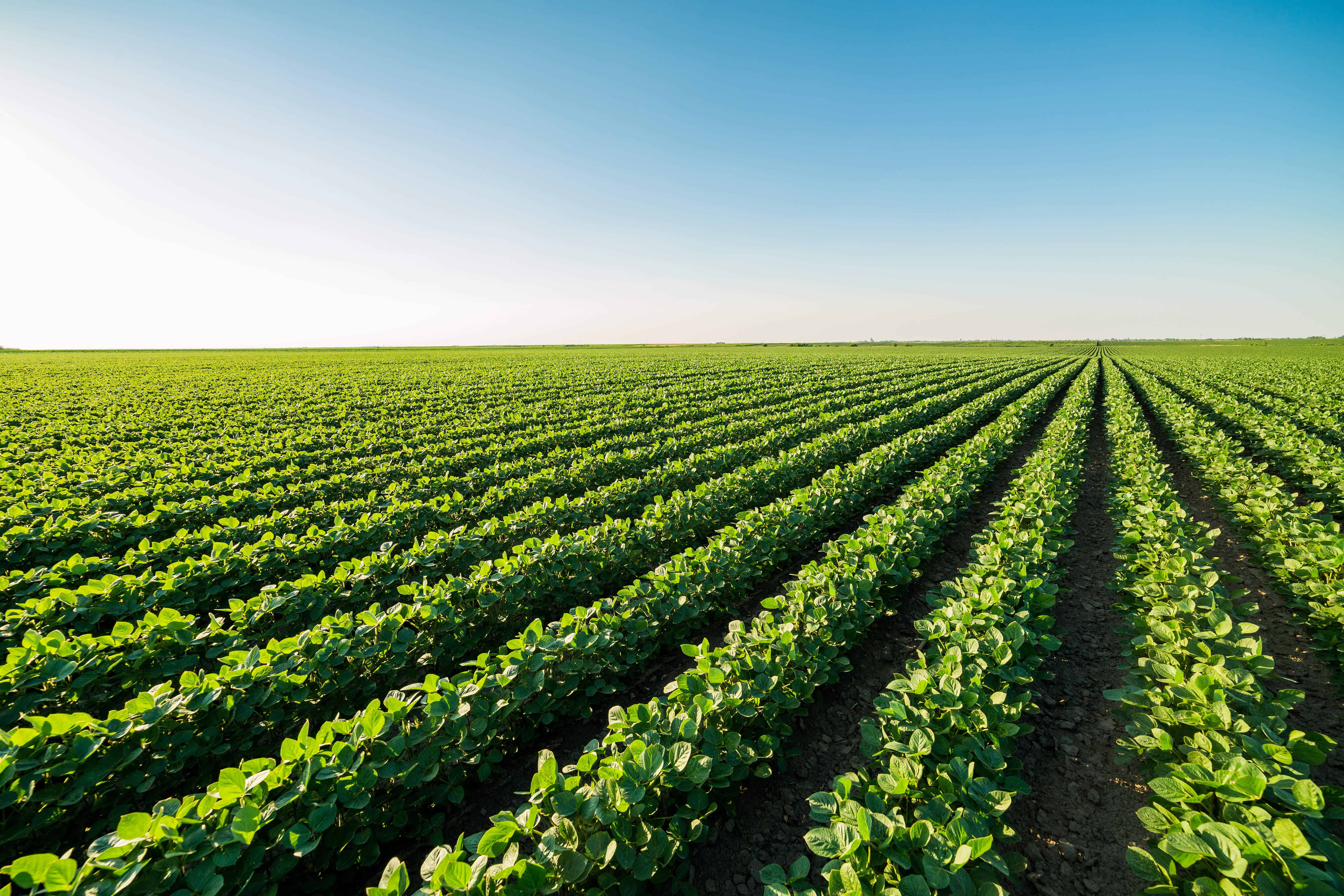 soybean field, agricultural landscape